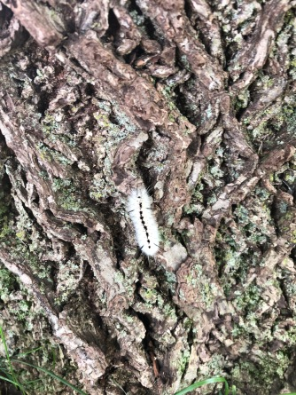 White caterpillar, I'm told is poisonous